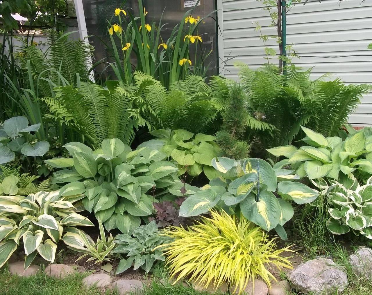 Посадка и уход за папоротниками на садовом участке, как размножать и пересаживать папоротник