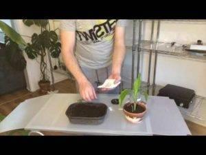 Выращивание банана дома: как прорастить и посадить бананы из семян