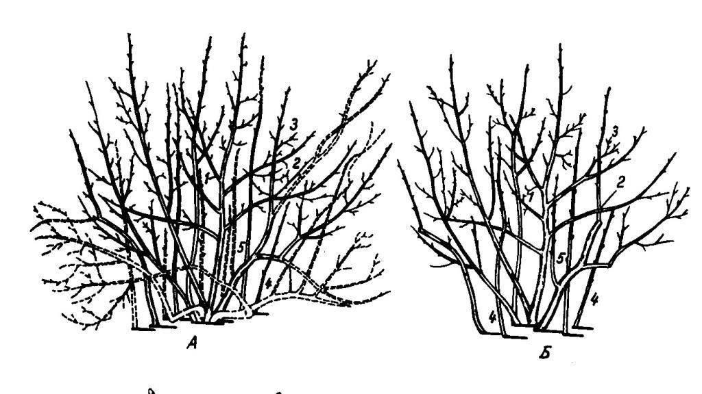 Как правильно делать обрезку крыжовника весной и осенью