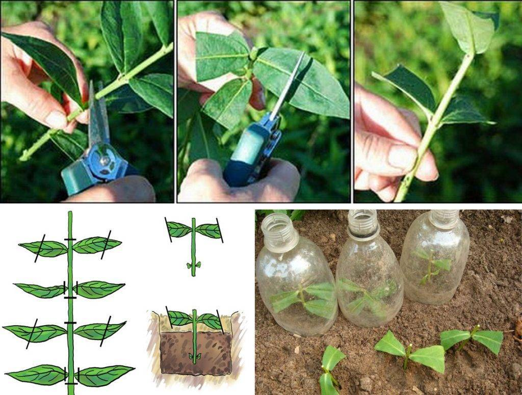 5 проверенных способов размножения пионов