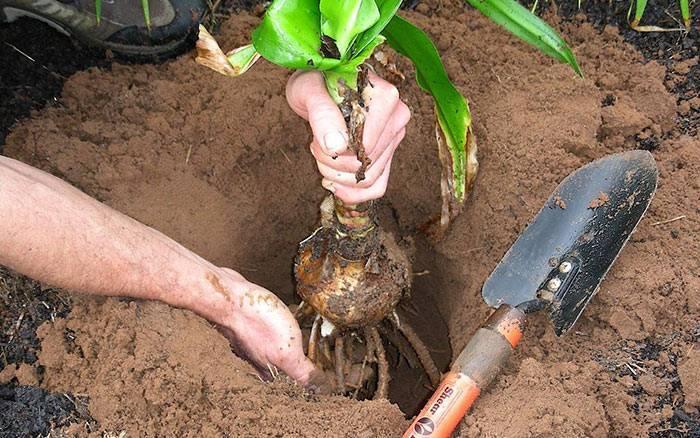 Удобрение ирисов, чем подкормить и как ухаживать