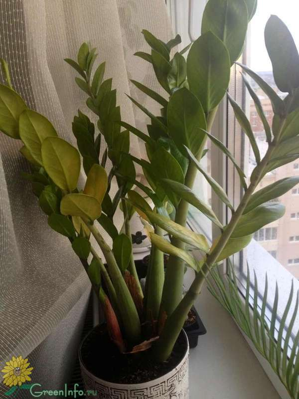 Замиокулькас — желтеют листья