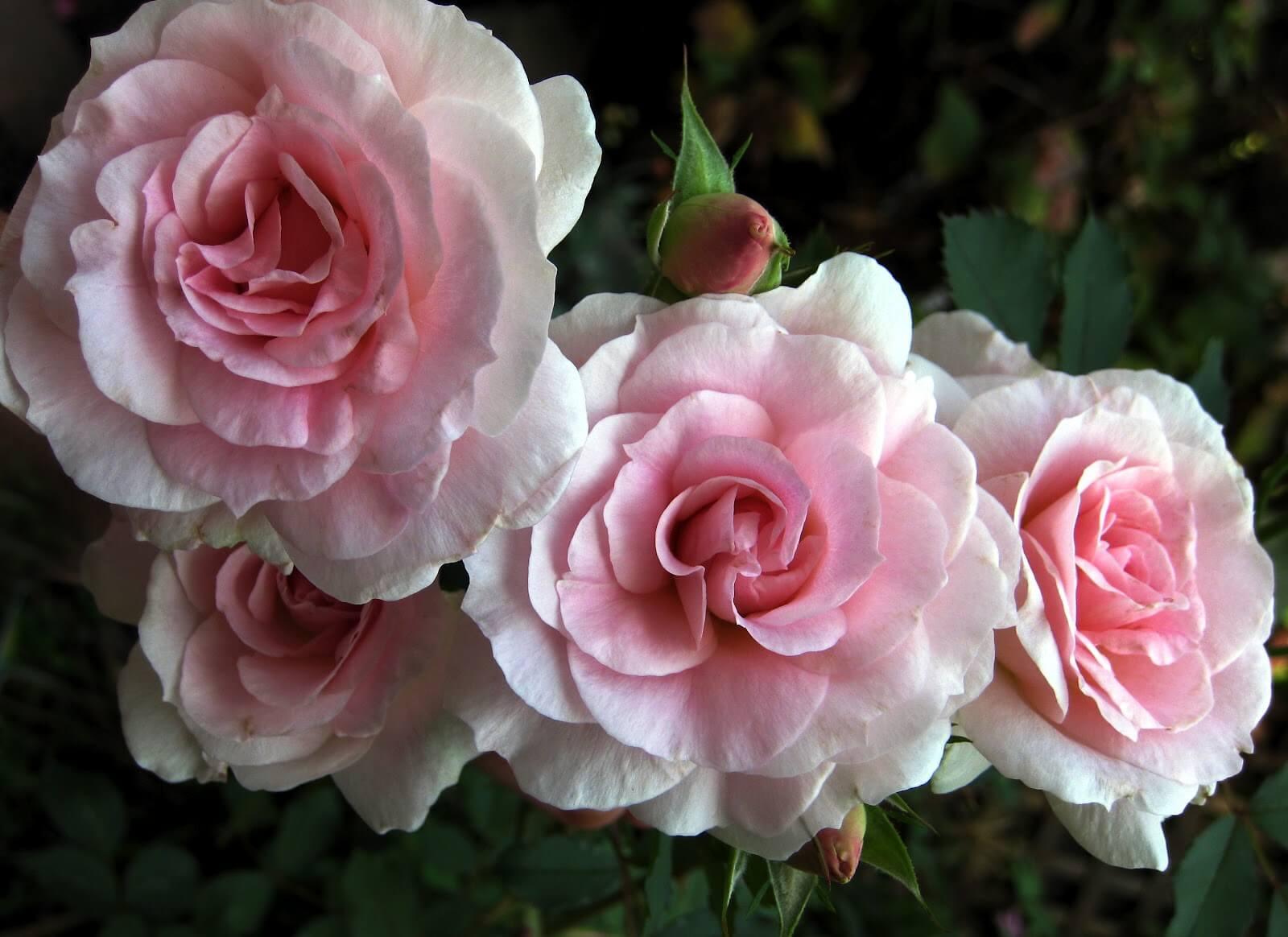 Роза Морден Блаш (Morden Blush) — описание сортовой культуры