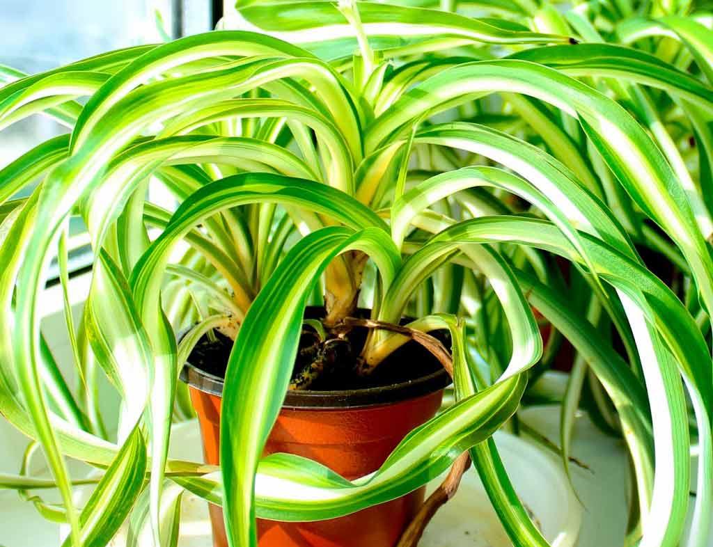 Цветок хлорофитум хохлатый: фото и уход в домашних условиях