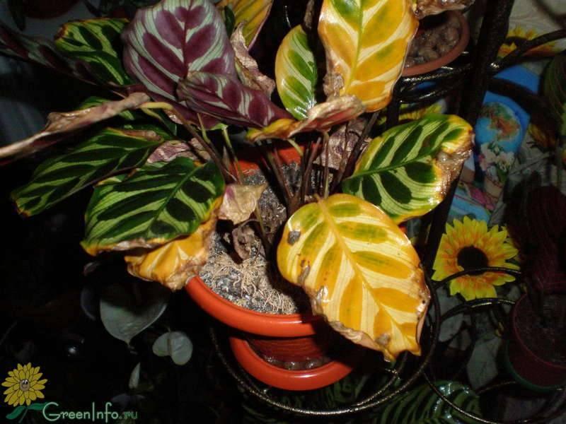 Почему желтеют или сохнут листья у алоказии: способы лечения болезни растения