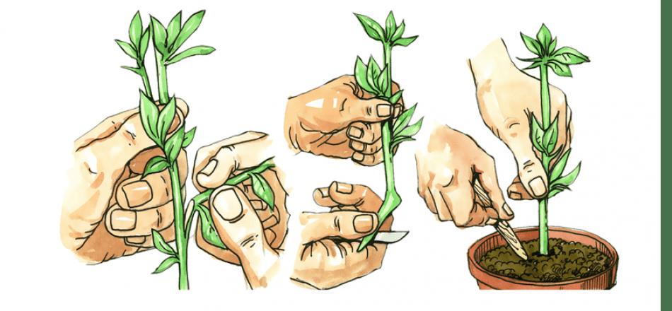 Технология размножения лаванды черенками: фото + видео