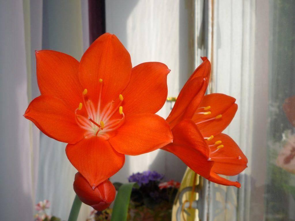 Уход в домашних условиях за цветком валлота — фото культуры