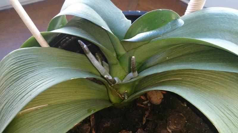 Листья орхидеи потеряли тургор и морщинятся: в чем причины, как восстановить упругость и вернуть растению здоровый вид, что делать для предупреждения этого недуга?