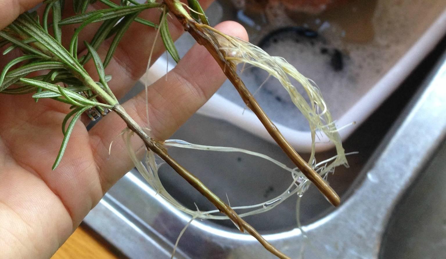 Как вырастить розмарин из черенка