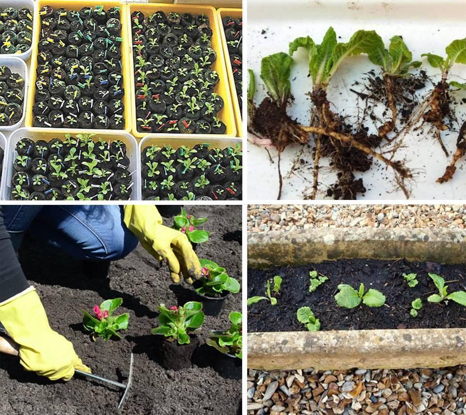 Как посадить и вырастить камнеломку:инструкция и советы по уходу