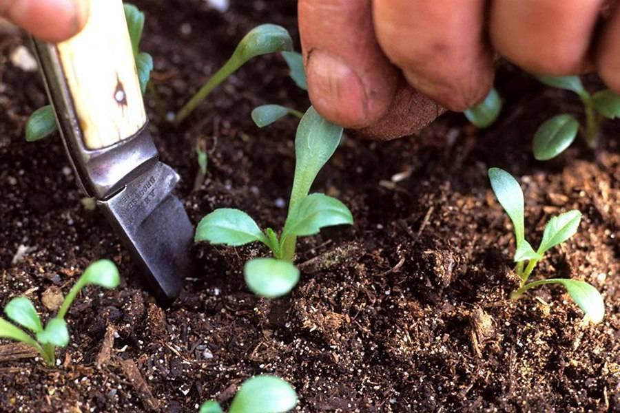 Иберис (70 фото): иберийка вечнозеленая и однолетняя, посадка и уход, горькая, «гибралтар кэндитафт» и «розовый сон». как собрать семена?