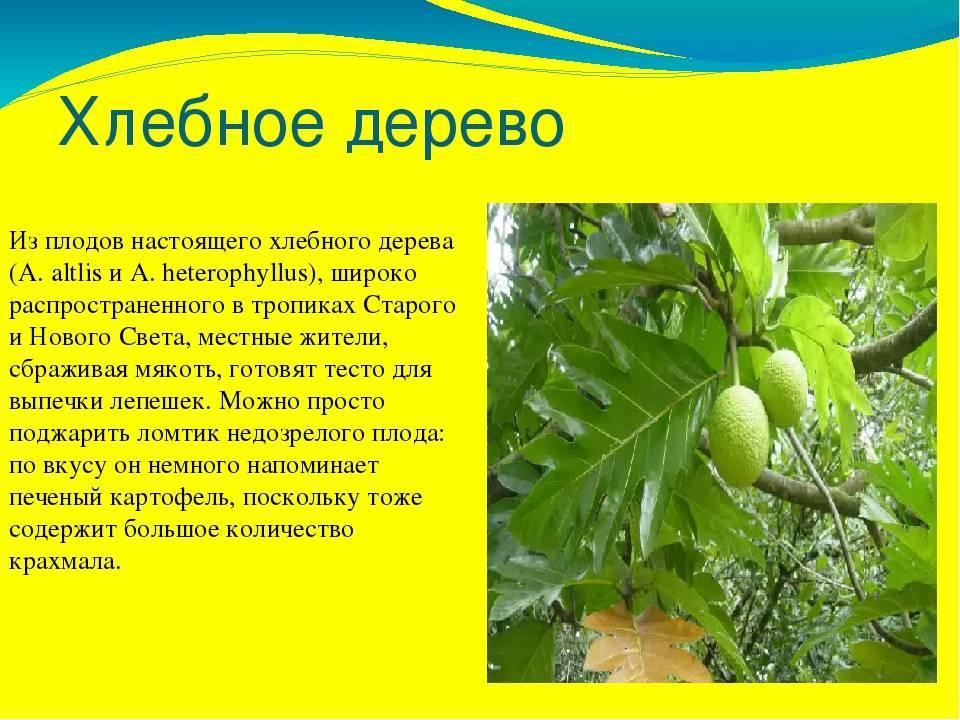 Хлебное дерево: фото и описание, где оно растёт, плоды