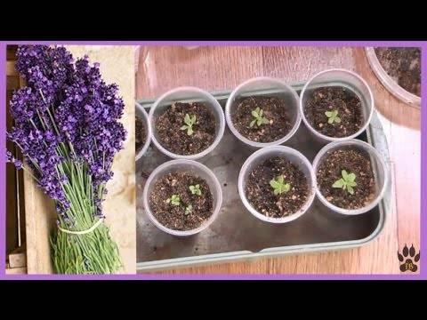 Выращивание лаванды в домашних условиях