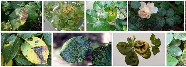 Почему гибискус сбрасывает свои нераспустившиеся бутоны: список причин, по которым у комнатного растения отваливаются и опадают нераскрывшиеся цветочные почки