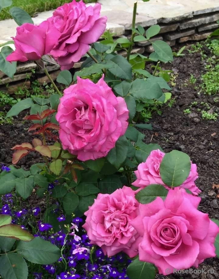 Как обрезать чайно-гибридную розу правильно