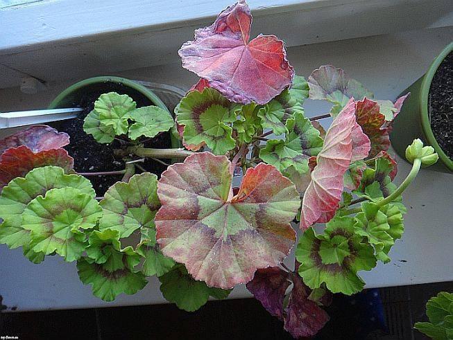 Пеларгония болезни и вредители: как с ними бороться, почему сохнут бутоны, каким должен быть уход за цветком в домашних условиях, лечение растения, фото