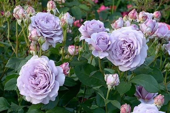 Обзор 6 самых красивых сортов фиолетовых роз