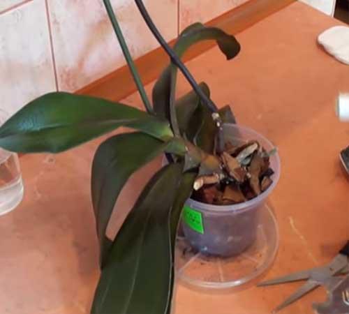 Можно ли обрезать орхидею после цветения, как правильно провести процедуру? дальнейший уход за растением