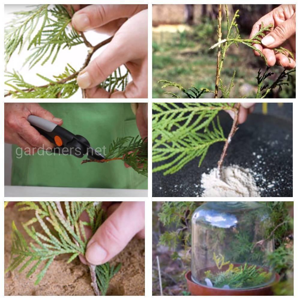 Розмарин — выращивание в открытом грунте
