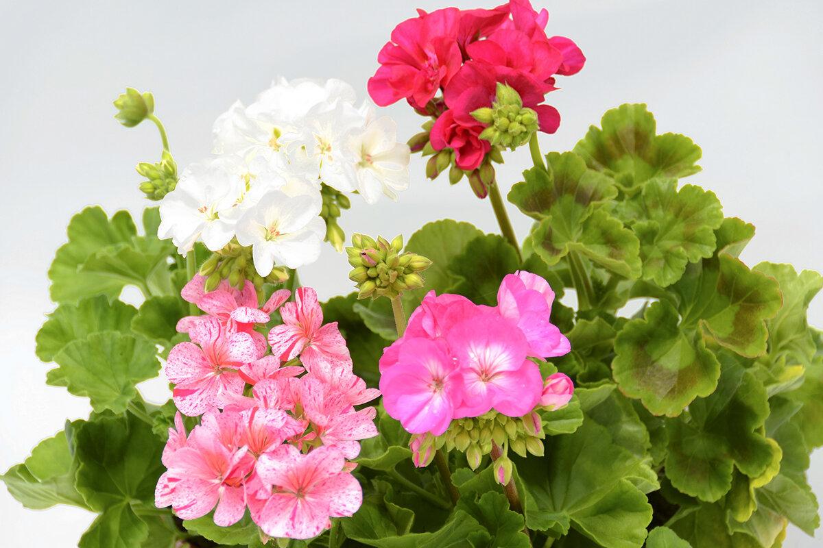 Герань: как прищипывать, чтобы получить пышное и красивое цветение?