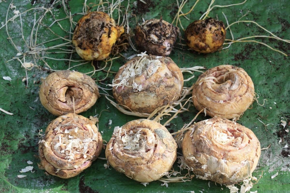 Цветок рябчик императорский — фото, виды, посадка и уход