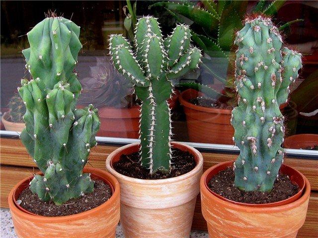 Цереус перуанский — уход в домашних условиях