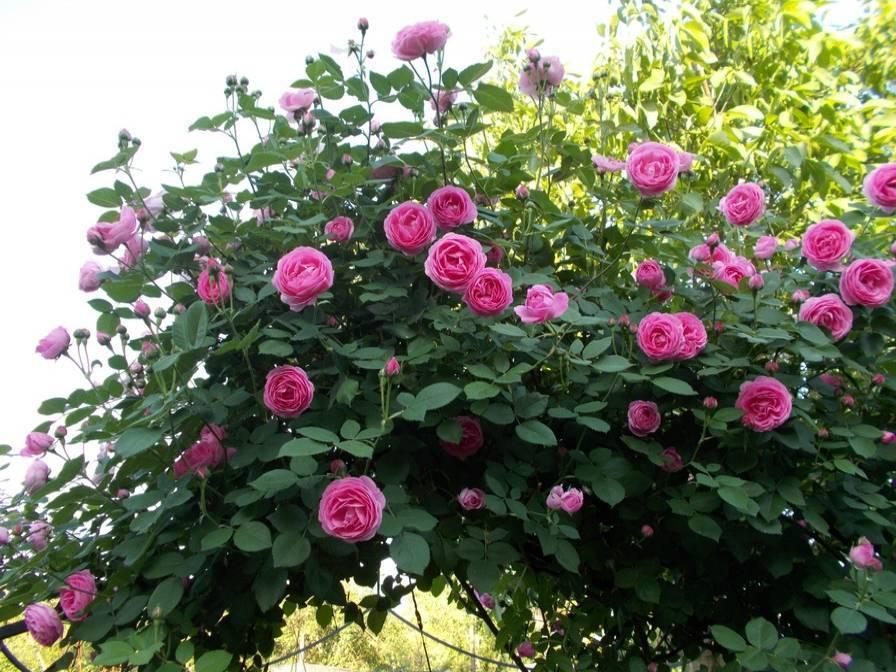 О чайно гибридной розе августа луиза (augusta luise): описание и характеристики
