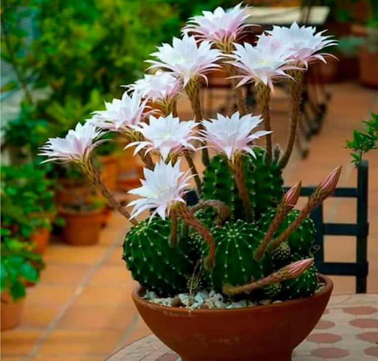 «колючая лилия» — так называют кактус эхинопсис