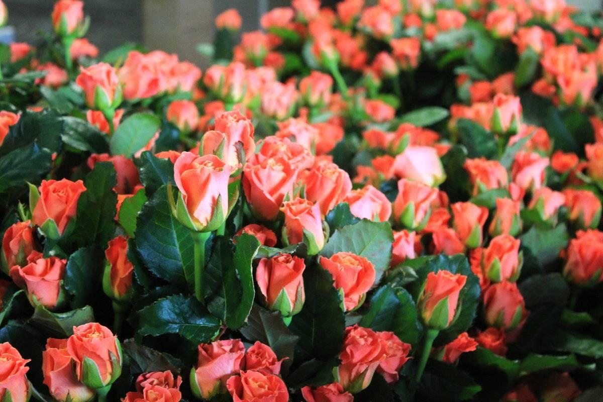 Особенности роз голландской селекции — описание и фото сортов, нюансы выращивания