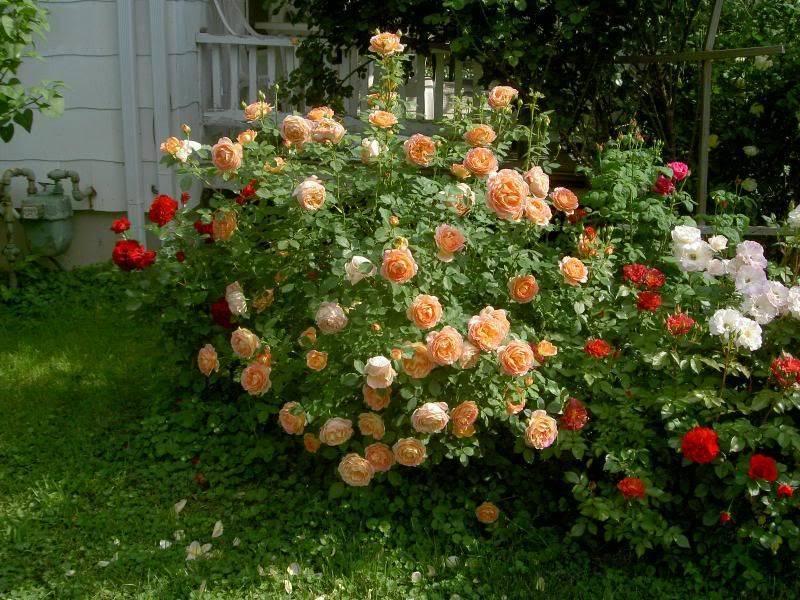 Беззащитные красавицы – розы без шипов. описание сортов с фото