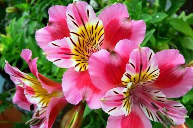 Альстромерия (65 фото): описание белых и красных сортов цветка «перуанская лилия», выращивание в открытом грунте, посадка семян и уход. как вырастить цветок в горшке в домашних условиях?