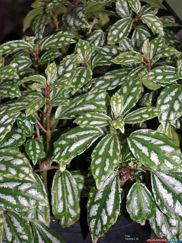 Комнатные цветы с бело-зелеными листьями