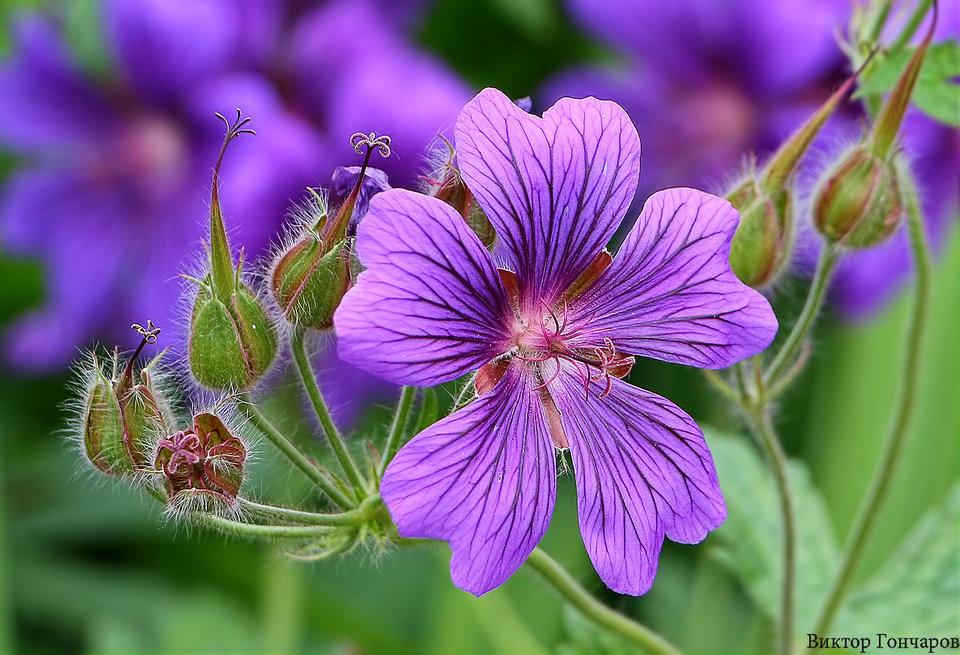 Герань луговая описание растения. герань луговая: лечебные свойства и противопоказания, выращивание. ботаническое описание цветка