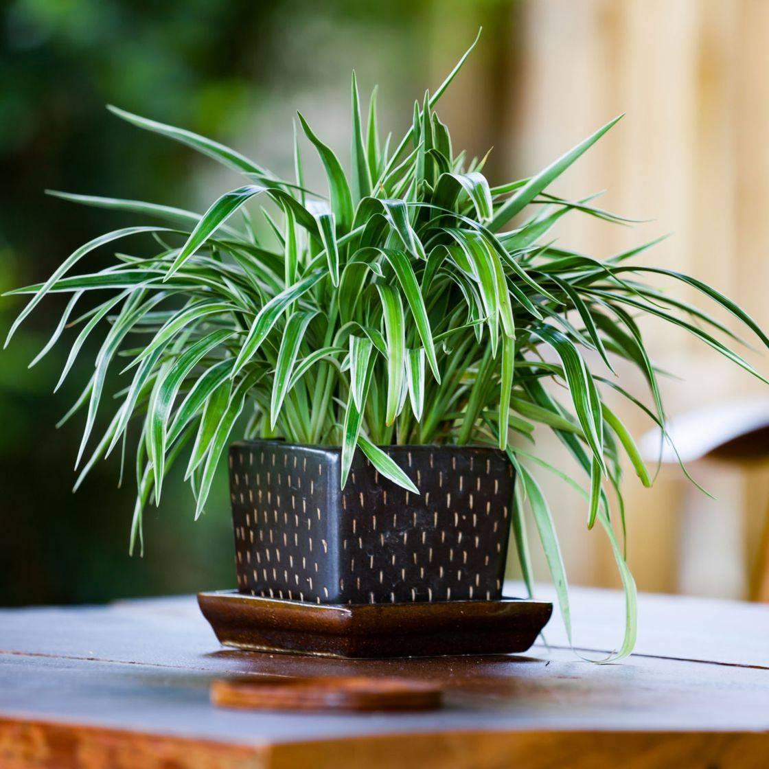 Хлорофитум: уход в домашних условиях за цветком оранжевым, кудрявым хохлатым