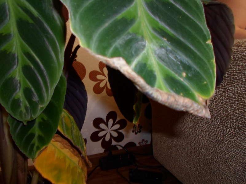Калатея зебрина: почему желтеют листья? уход в домашних условиях, болезни и вредители