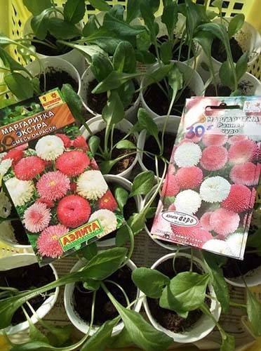 Посадка маргариток семенами на рассаду