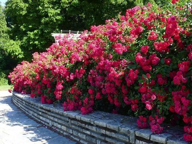 Почвопокровные розы — что это такое, сорта