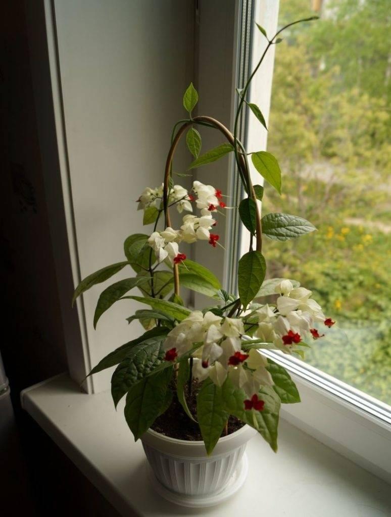 Клеродендрум: виды и сорта, проблемы при выращивании