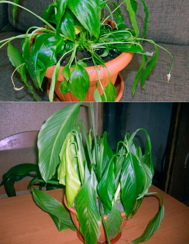 Спатифиллум - женское счастье. выращивание, уход за растением