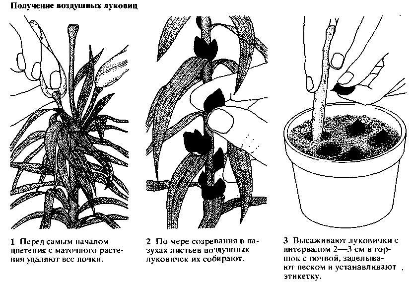 Как ухаживать за цветком нолина в домашних условиях