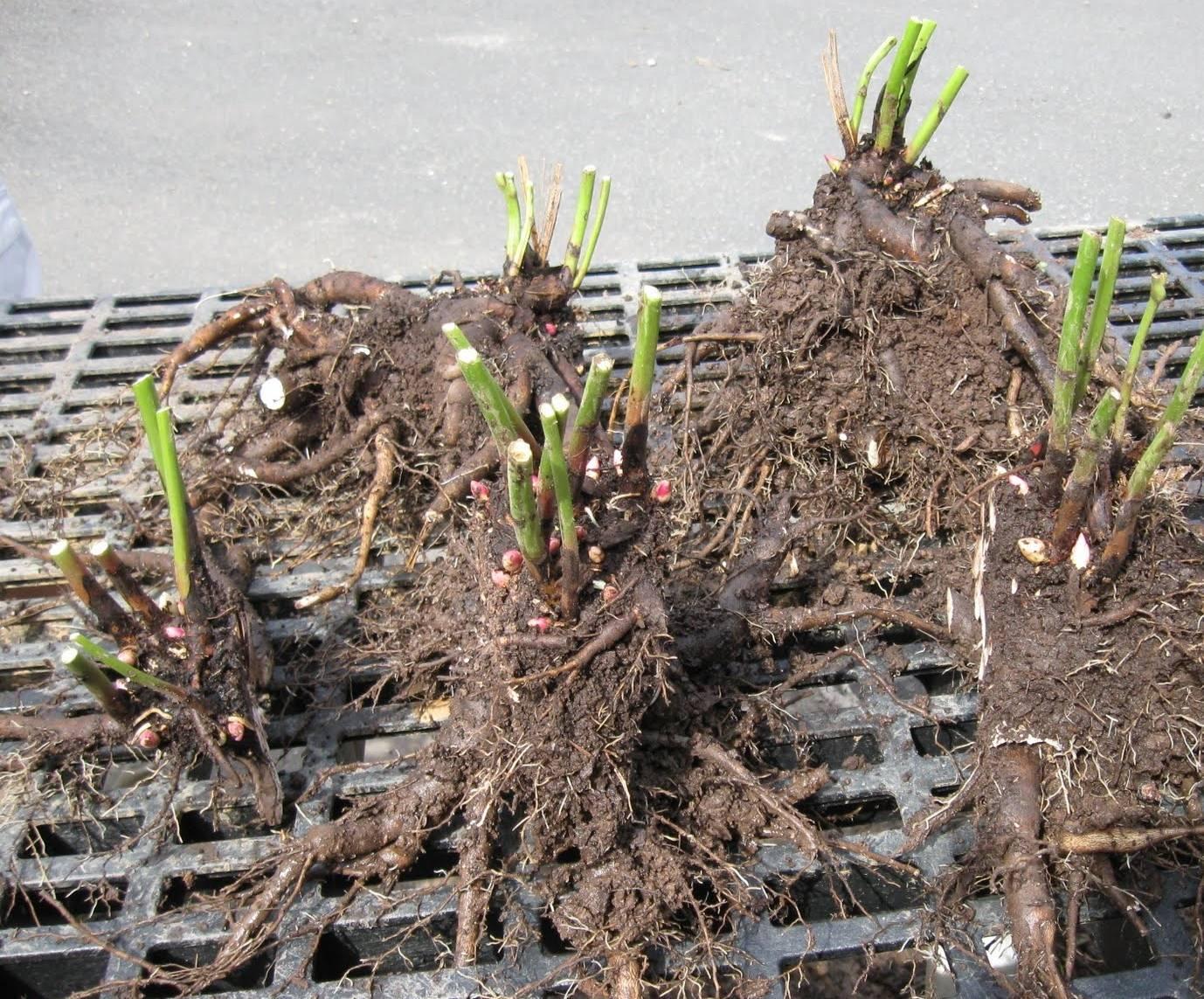 Дейция: выращивание, уход и размножение