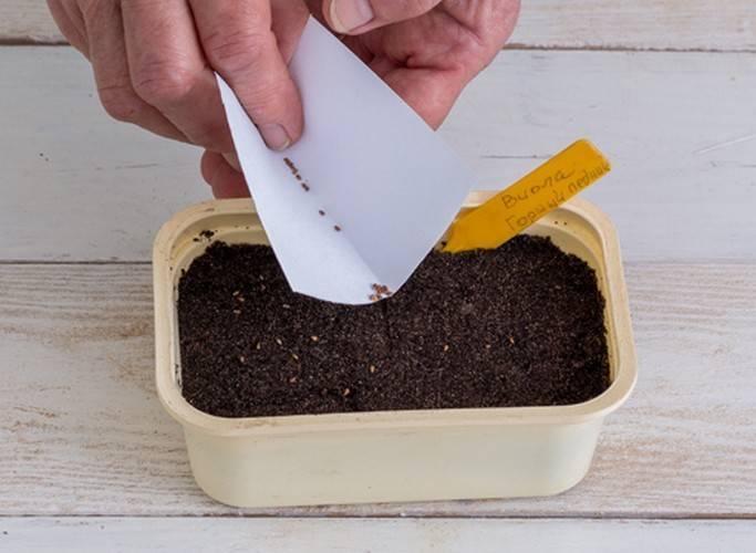 Примула: как вырастить из семян самостоятельно в домашних условиях