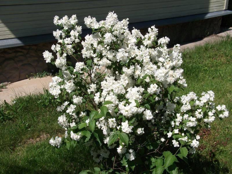 Жасмин махровый — популярные сорта растения