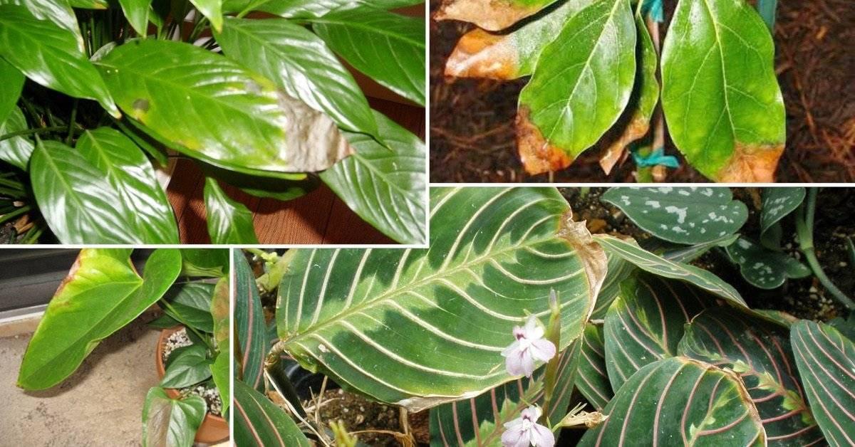 Почему у алоэ сохнут кончики листьев: как помочь растению и спасти его