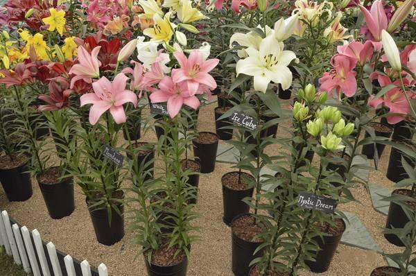 Горшечные лилии: как рассаживать лилии, сколько и когда цветут, когда делить