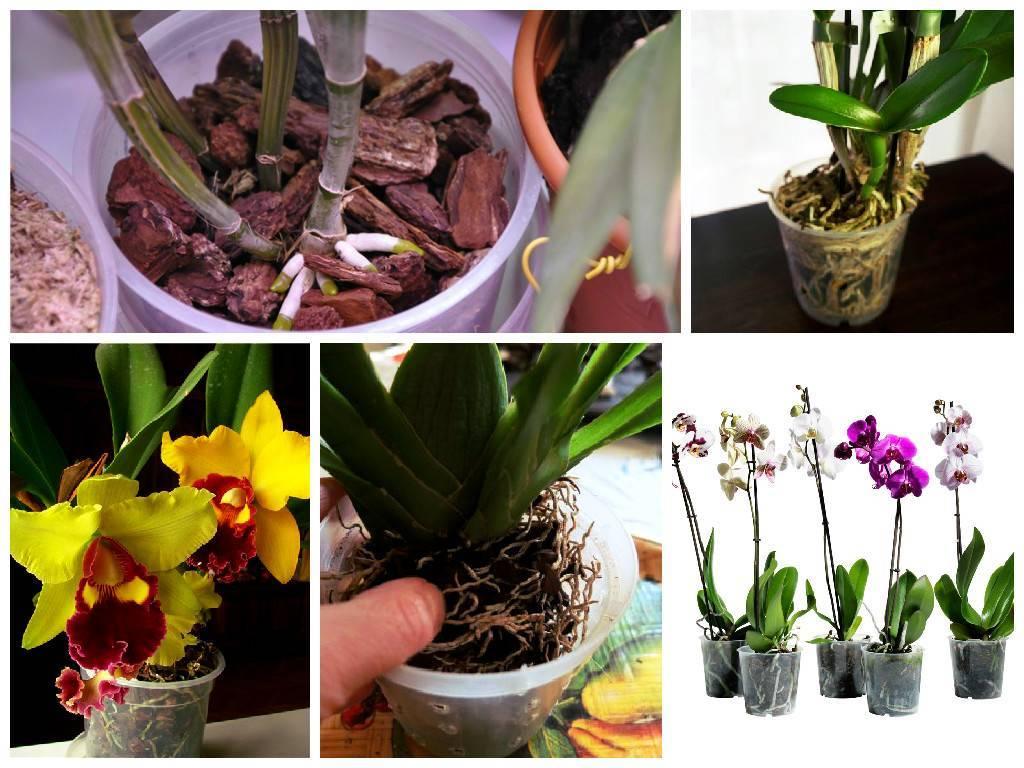 Орхидея каттлея: советы по уходу и пересадке. как зацвести каттлею в домашних условиях.