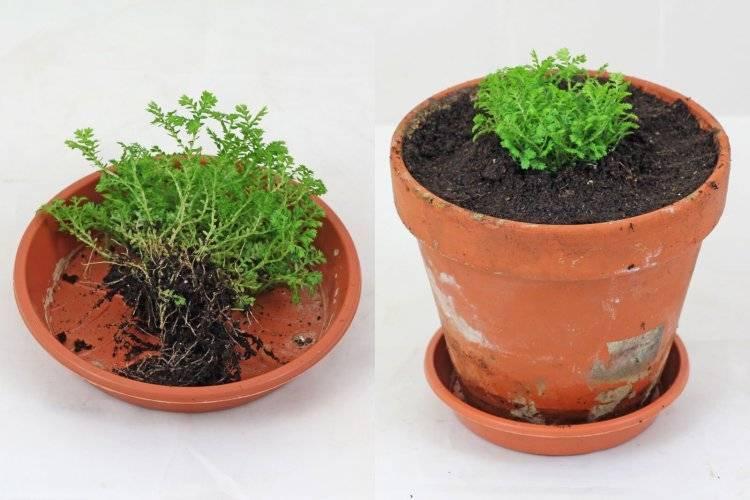 Селагинелла выращивание и уход в домашних условиях