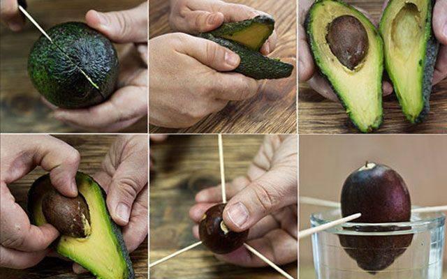 Авокадо — как выращивать из косточки? путь от семечки до дерева в домашнем саду