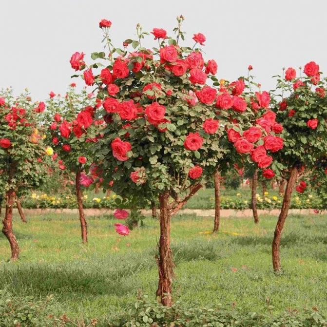 Розовое дерево: описание и применение