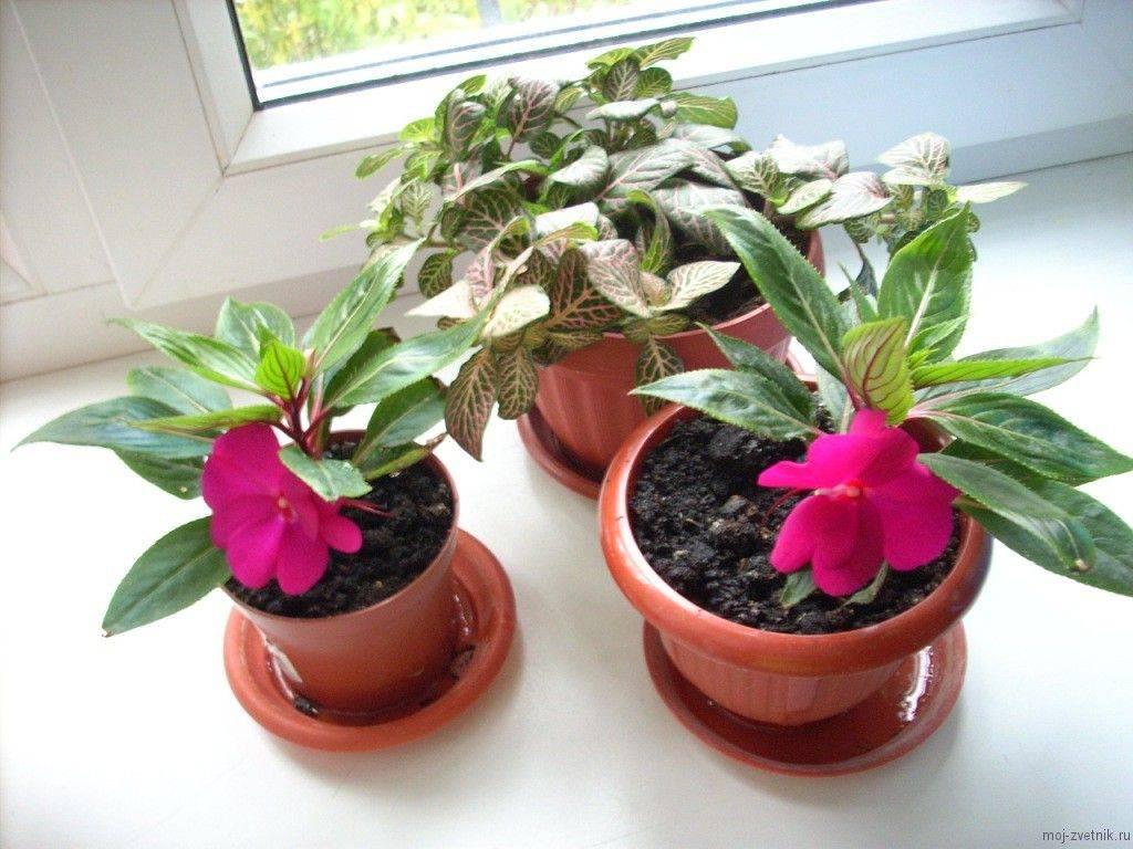 Бальзамин или «ванька мокрый»(55 фото): комнатный и садовый, описание сортов. выращивание и уход в домашних условиях и в открытом грунте
